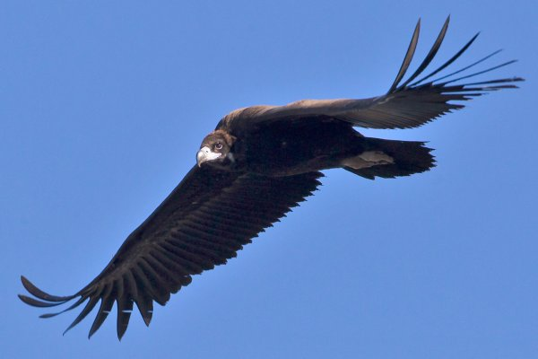 Eurasian Black Vulture, photographed in Spain by Juan Lacruz