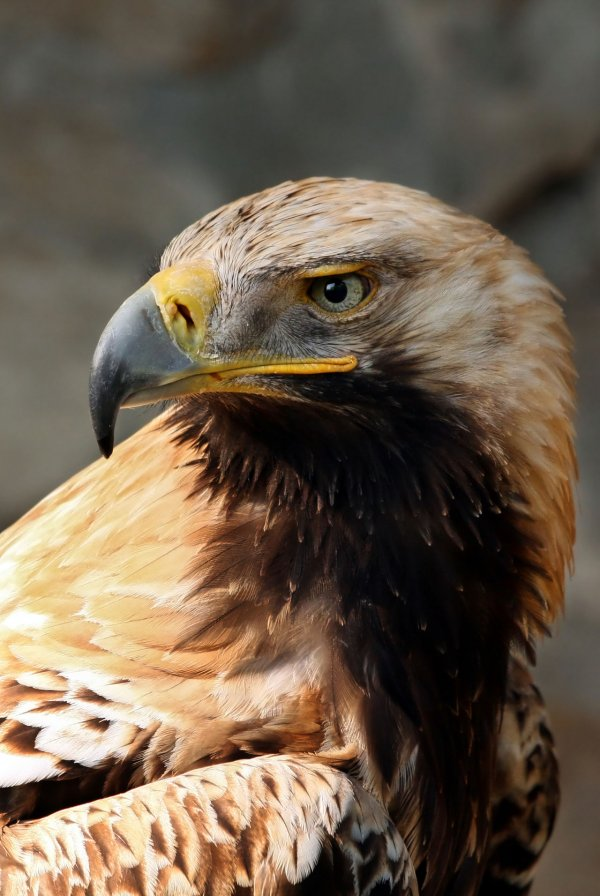 Spanish Imperial Eagle. Photograph by AngMoKio at Deutsche Greifenwarte